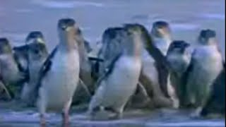 Penguin Australia  City new picture : Amazing spectacle! Penguins in Melbourne, Australia - David Attenborough - BBC wildlife