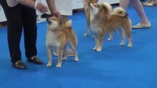 World Dog Show 2016 Shiba-inu Female Junior