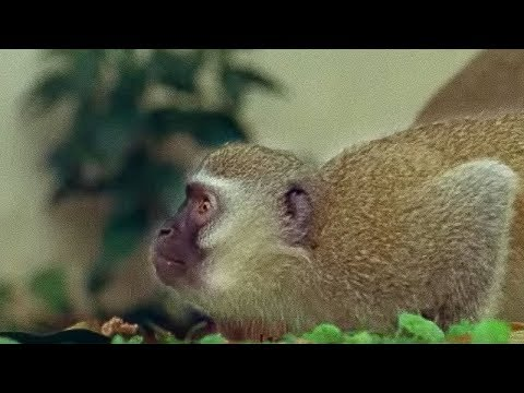 monkey - A chance to watch monkey troup behavious when a rival monkey troupe attempts to invade their territory. A battle of the monkey troupes ensues. Great video fr...