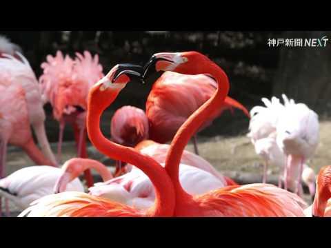 Lovely heart 求愛フラミンゴ