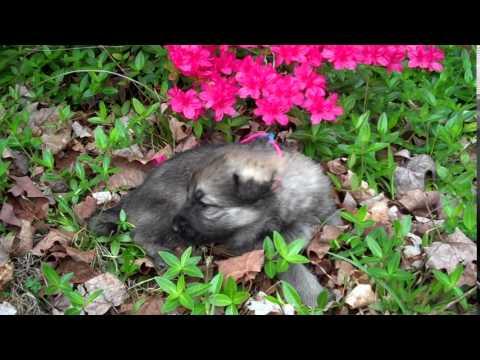 Princess Leias Mr. Seaside Sunrise Silver Sable Male Puppy