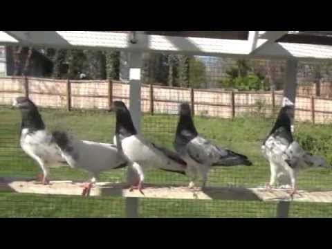 indian pigeon - Pakistani and Indian High Flying pigeons in USA. For questions call 240-731-2924.