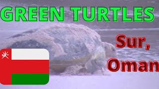 Sur Oman  city photo : Green Turtle Returning to Sea after Laying Eggs in Sur, Oman