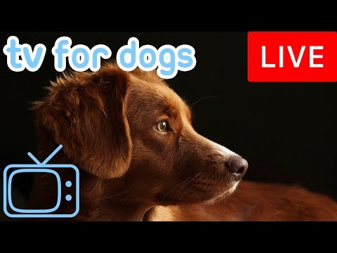 Video TV for Dogs! Chill Your Dog Out with this 24/7 TV and Music Playlist! download in MP3, 3GP, MP4, WEBM, AVI, FLV January 2017