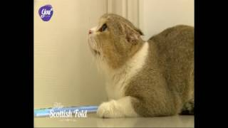 Giới thiệu về giống mèo tai cụp Scottish Fold