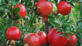 How to Grow Pomegranates - Complete Growing Guide