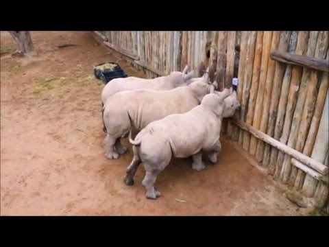 Baby Rhinos Cry When Their Milk Runs Out