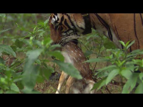 Tiger Hunts Lone Baby Deer | BBC Earth