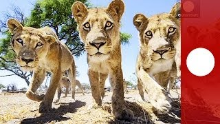Lions vs camera: Amazing curious lion Shots