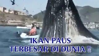 VIDEO IKAN PAUS TERBESAR DI DUNIA