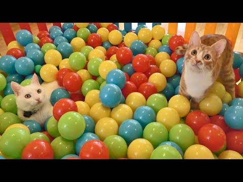 Two Cats and 500 Balls in a Ball Pit !!