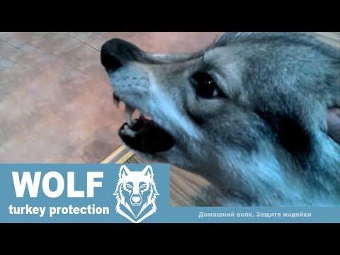 Домашний волк Макс и защита ИНДЕЙКИ - DomaVideo.Ru