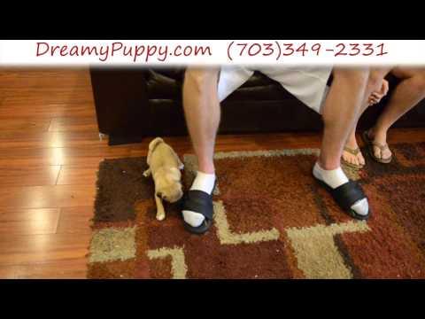 Super Cute Female Puggle Puppy 3