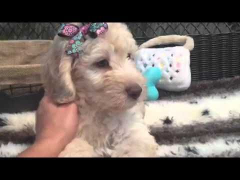 SWEET AND FLUFFY MINI GOLDENDOODLE FEMALE