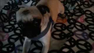 Our pug Gizmo learning sit, lay, paw for treats