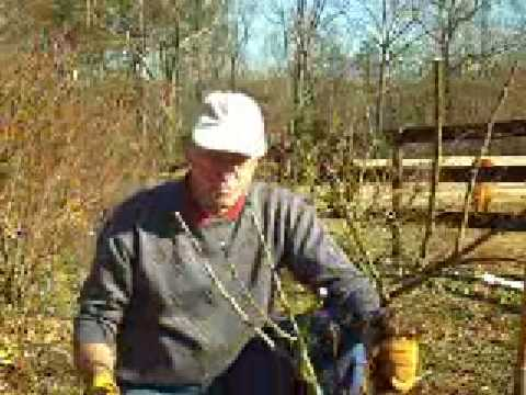 how to replant rose trees