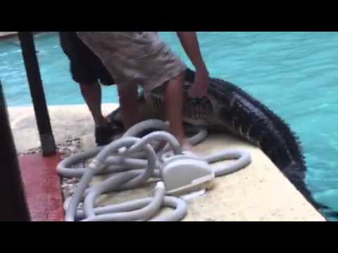 Watch Woman Find Giant Alligator In Her Pool