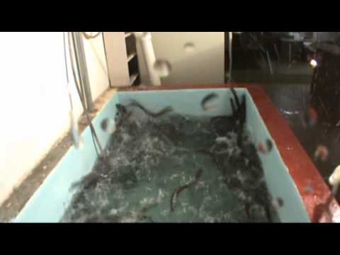 男子在魚池倒入一杯水 竟讓魚群瘋狂亂跳!