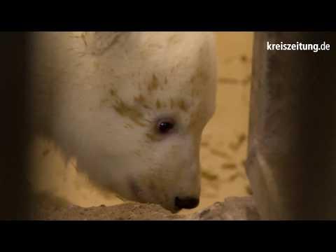 Bremerhaven: Eisbären-Nachwuchs im Zoo am Meer
