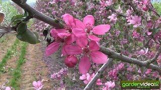 So schön können Apfelblüten sein!