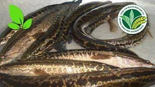 Khuyến nông | Kiếm bộn tiền nhờ nuôi cá chuối hoa trong lồng trên hồ chứa