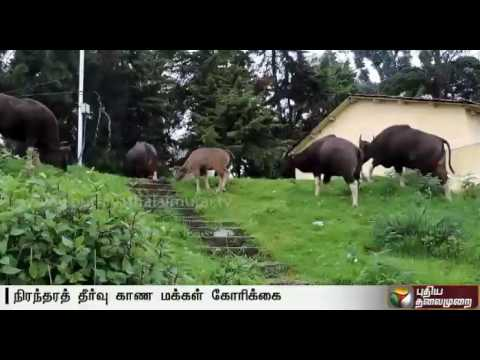 Kodaikanal--Residents-express-apprehension-at-Wild-Buffalos-entering-residential-areas-frequently