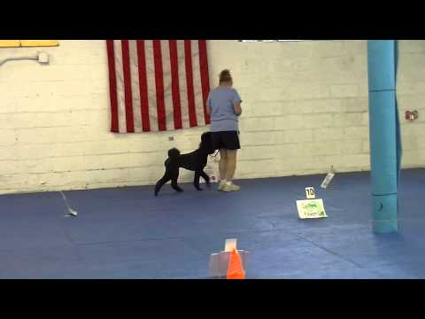 WCRL - Fallon earning leg 29 of the 30 needed for her WCRL RL1x3 Ch. title with a perfect 210 on 8/10/14 at Kellar's Canine Academy.