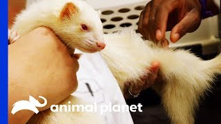 Alexander The Albino Ferret Receives Treatment For Hair Loss | The Vet Life by Animal Planet