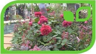 Die Rose Darcey Bussel an der Chelsea Flower Show 2014
