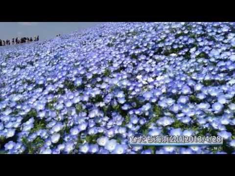 本当に綺麗!国営ひたち海浜公園のお花畑