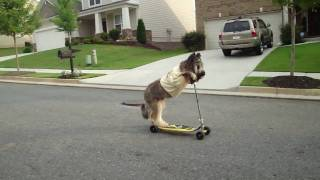 Пёс на самокате