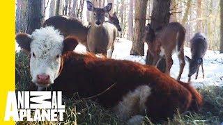 Animal Bites With Dave Salmoni: Bonnie The Runaway Calf by Animal Planet