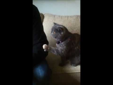 「貓版小媳婦」僅用小肉蹼抓抓跟主人討摸摸