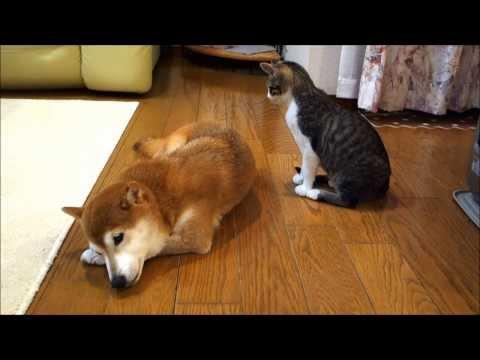 會幫柴犬梳毛的貓