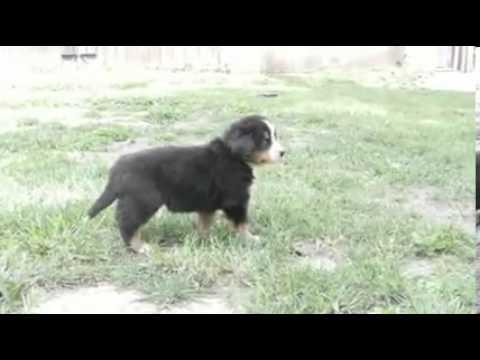 Toledo Ohio Puppies girl 5 (only 4 girls left)