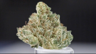 Galactic Glue - (Strain Review) by Strain Central