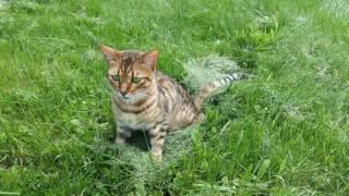 Savannah kitten loses his battle with FIP