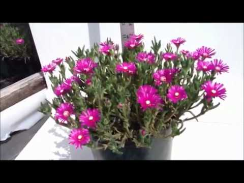 Best Flowering Perennials - Delosperma cooperi - Ice plant