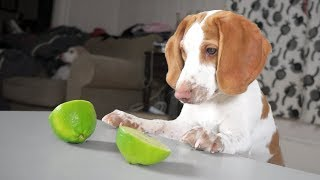 Cute Puppy vs Limes: Cute Dogs Potpie & Maymo by Maymo