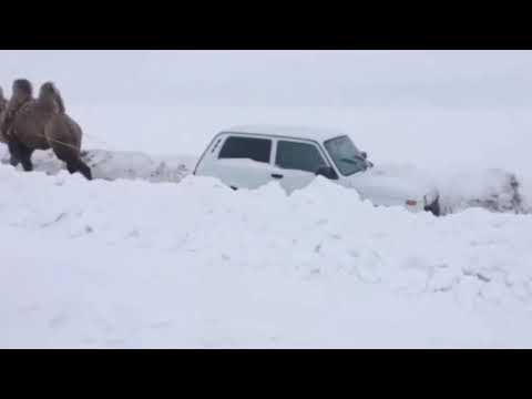 """В Саратове верблюд вытащил застрявшую в снегу """"Ниву"""""""