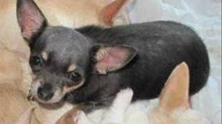 pets4homes Stolen Chihuahuas - Please Help