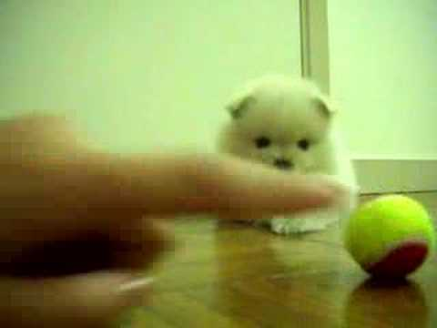 pomeranians - The one playing with the ball is Mia the black one is Turtle and the other white one (sleeping in the back) is Pork. They are all Pomeranians from the same l...
