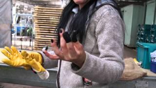 #499 David Austin Roses 2011 -  Dornenresistente Frauen