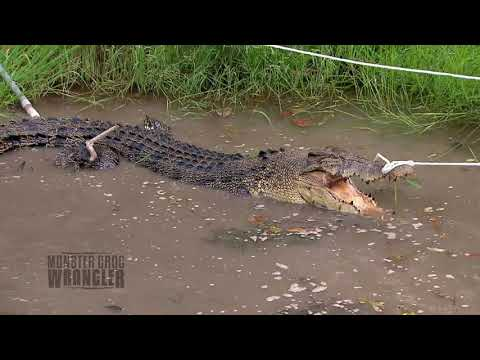 Pulling a BIG Croc out of a small waterhole....