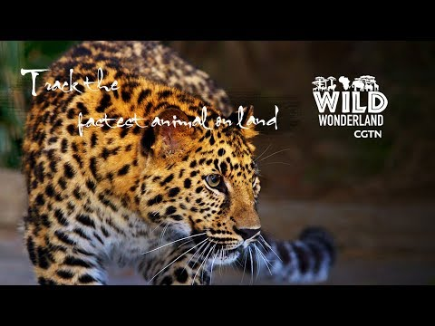 """Live: Wonders of the wild Ep. 7 – Track the fastest animal on land追踪草原上的""""速度之王"""""""