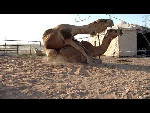 Camels mating breeding horse horses mating on a ranch wild