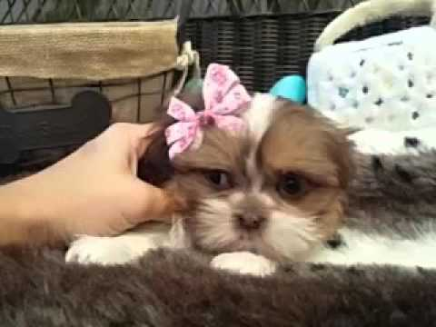 To die for! Shih tzu baby girl