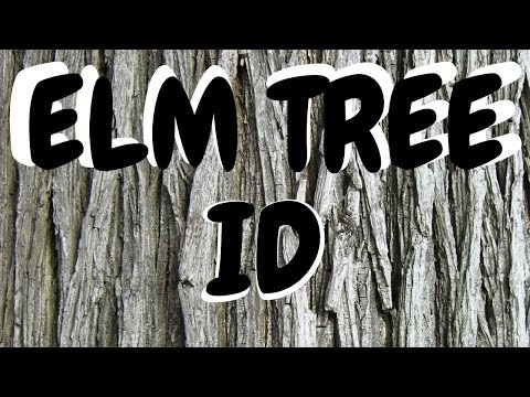 How to Identify an Elm Tree From the Bark--Morel Hunting