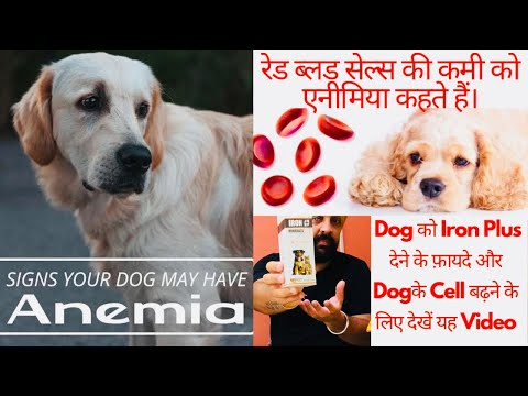IRON Plus | Anemia (Blood Cell and Plates) in Dogs – Signs, Treatment and Prevention. BholaShola