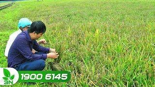 Nông nghiệp | Cảnh báo: Bệnh lùn sọc đen hại cây lúa, gây mất mùa - KHNN 244